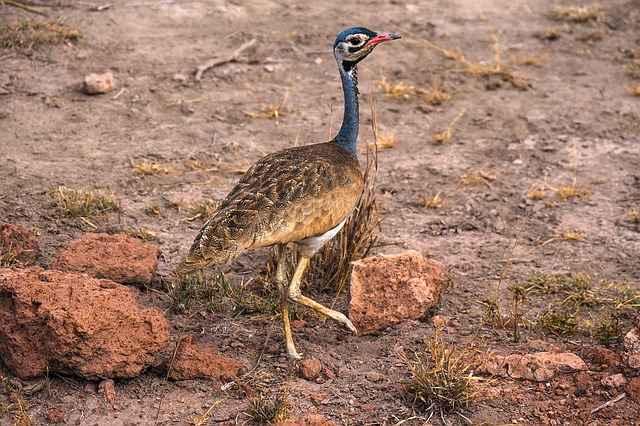 african bird