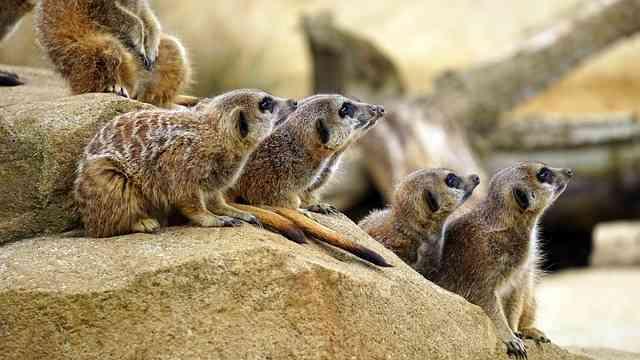 meerkat Eco-safari