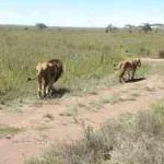 Africa Safari lions