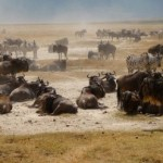 Wildebeest in Tanzania Africa
