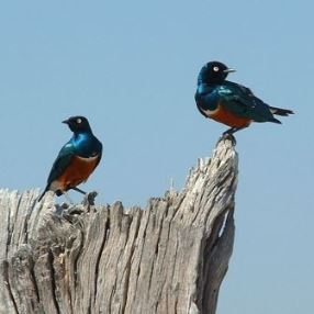 Ruaha Superb Starlings